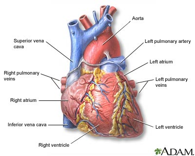 Heart, front view: MedlinePlus Medical Encyclopedia Image