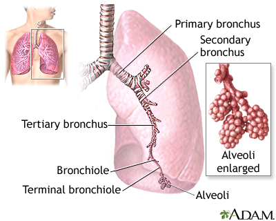 The major features of the lungs include the bronchi, the bronchioles and the alveoli. The alveoli are the microscopic blood vessel-lined sacks in which oxygen and carbon dioxide gas are exchanged.