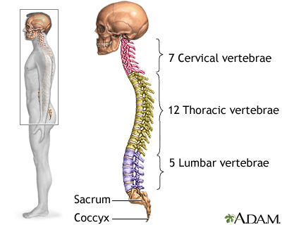 skeletal spine: medlineplus medical encyclopedia image, Skeleton