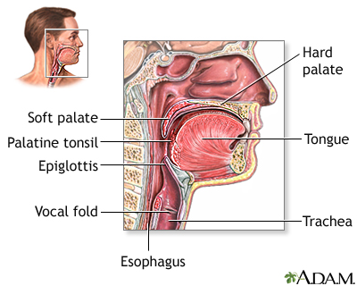 Structures of the throat include the esophagus, trachea, epiglottis and tonsils.