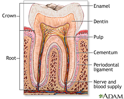 dental pulp diagram tooth anatomy: medlineplus medical encyclopedia image skull dental diagram #6