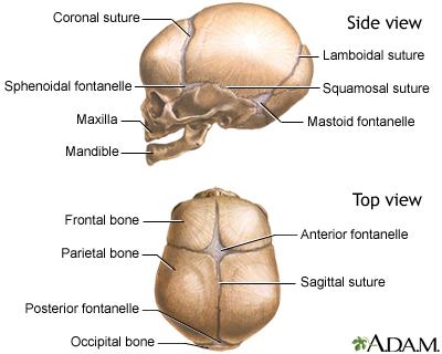 Skull of a newbornBack Of Skull Labeled