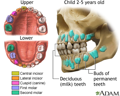Development of baby teeth: MedlinePlus Medical Encyclopedia Image