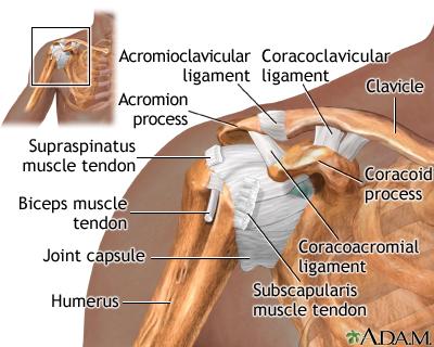Shoulder separation - series—Normal anatomy: MedlinePlus Medical ...