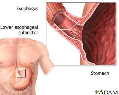 Achalasia - series—Normal anatomy: MedlinePlus Medical Encyclopedia
