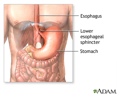 Gastroesophageal Sphincter Normal anatomy