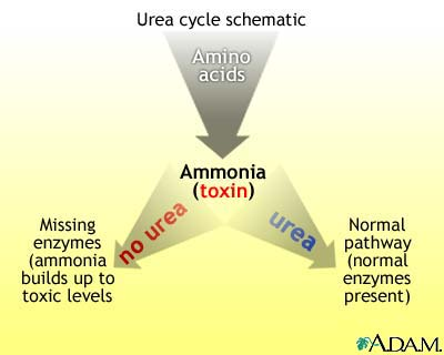 Normal ammonia level in adults