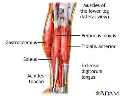 Lower leg muscles. The muscular components of the lower leg include the