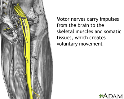 Motor Nerves Medlineplus Medical Encyclopedia Image