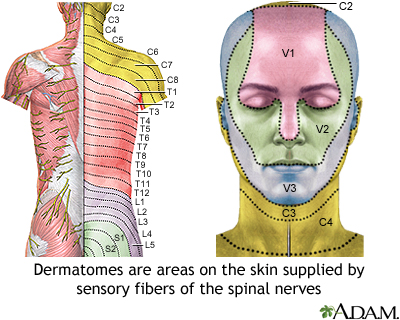 Adult dermatome: MedlinePlus Medical Encyclopedia Image on myotomal map, spinal map, us national parks map, deciduous map, somatosensory system, peripheral nerve field, brachial plexus map, blood–brain barrier, sclerotome map, dermatomal distribution map, lumbosacral plexus map, mtdna haplogroup migration map, nerve map, montserrat map, acupuncture ear map, diffusion map, brachial plexus, nervous system map, cervical pain map, thalamus map, referred pain map, myotome map, st. paul light rail map,