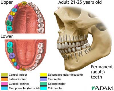 Development of permanent teeth: MedlinePlus Medical Encyclopedia Image