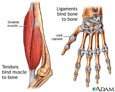 Ligaments bind bone to bone. Tendons bind muscle to bone.