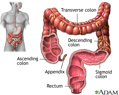 large intestine (colon): medlineplus medical encyclopedia image, Cephalic Vein