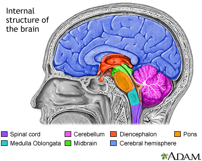 Brain structures: MedlinePlus Medical Encyclopedia Image