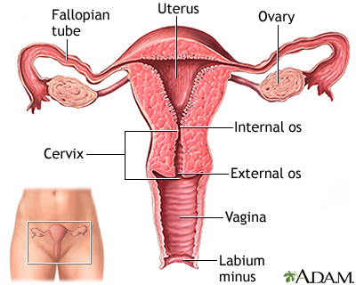 Uterus Medlineplus Medical Encyclopedia Image