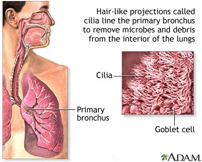 Respiratory cilia: MedlinePlus Medical Encyclopedia Image