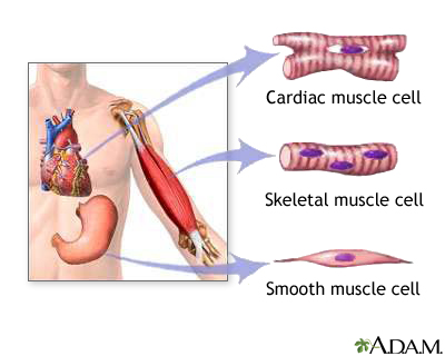 Types of muscle tissue: MedlinePlus Medical Encyclopedia Image