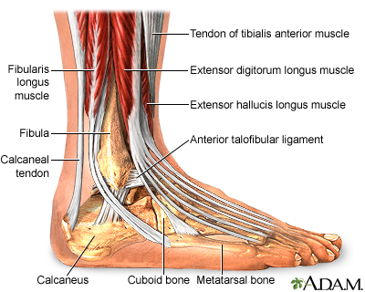 Ankle anatomy: MedlinePlus Medical Encyclopedia Image