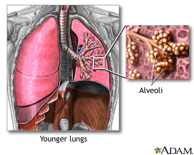 Normal Lungs And Alveoli Medlineplus Medical Encyclopedia Image