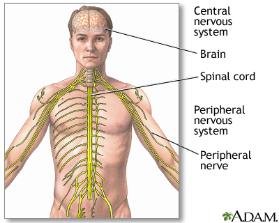 Central nervous system and peripheral nervous system: MedlinePlus ...