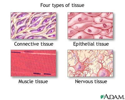 There are four kinds of connective tissue fibrous,
