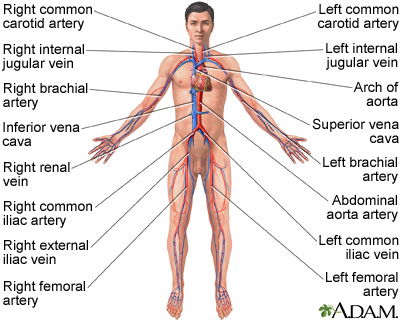 circulatory system: medlineplus medical encyclopedia image, Cephalic vein