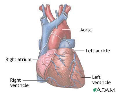 Normal anatomy of the heart: MedlinePlus Medical Encyclopedia Image