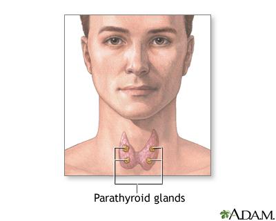 Parathyroid glands: MedlinePlus Medical Encyclopedia Image