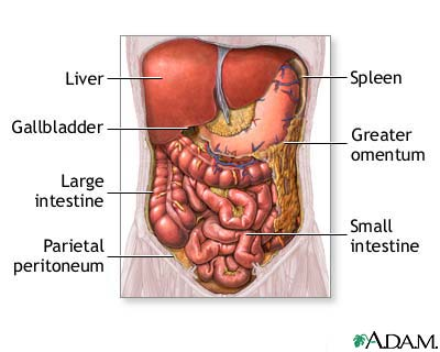 abdominal organs: medlineplus medical encyclopedia image, Cephalic Vein