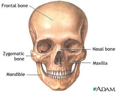 Skull Anatomy Medlineplus Medical Encyclopedia Image