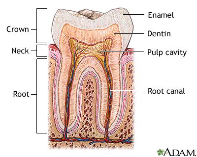 Tooth Anatomy Medlineplus Medical Encyclopedia Image