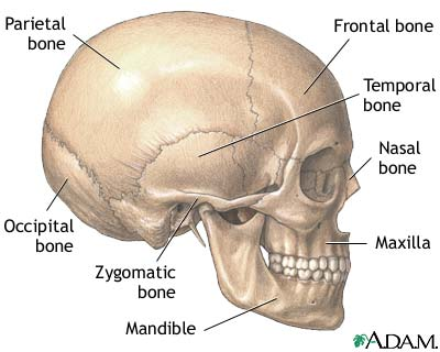 The skull is the bony structure of the head and face