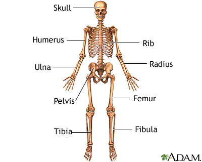 Anterior skeletal anatomy: MedlinePlus Medical Encyclopedia Image