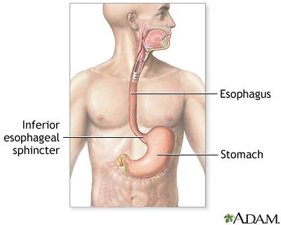 Upper gastrointestinal system: MedlinePlus Medical Encyclopedia Image