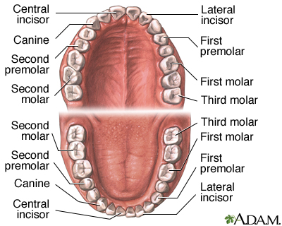 Dental anatomy: MedlinePlus Medical Encyclopedia Image
