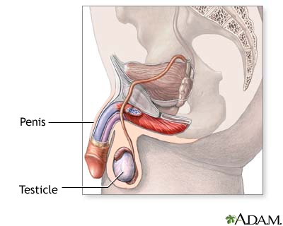 Male reproductive system: MedlinePlus Medical Encyclopedia Image