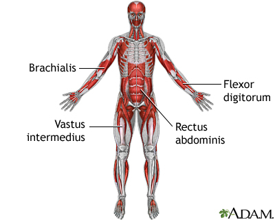 Deep anterior muscles