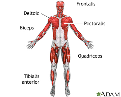 Superficial anterior muscles: MedlinePlus Medical Encyclopedia Image