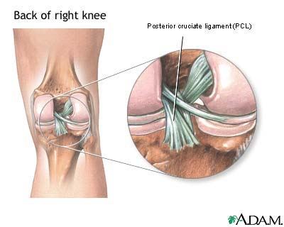 Posterior cruciate ligament of the knee