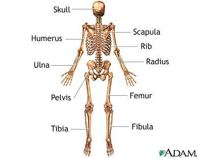 skeleton (posterior view): medlineplus medical encyclopedia image, Skeleton