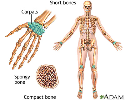 Short bones: MedlinePlus Medical Encyclopedia Image
