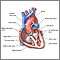 The interior of the heart is composed of valves, chambers, and associated vessels.