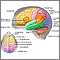 The major areas of the brain have one or more specific functions.