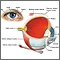 The eye is the organ of sight, a nearly spherical hollow globe filled with fluids (humors). The outer layer or tunic (sclera, or white, and cornea) is fibrous and protective. The middle tunic layer (choroid, ciliary body and the iris) is vascular. The innermost layer (the retina) is nervous or sensory. The fluids in the eye are divided by the lens into the vitreous humor (behind the lens) and the aqueous humor (in front of the lens). The lens itself is flexible and suspended by ligaments which allow it to change shape to focus light on the retina, which is composed of sensory neurons.
