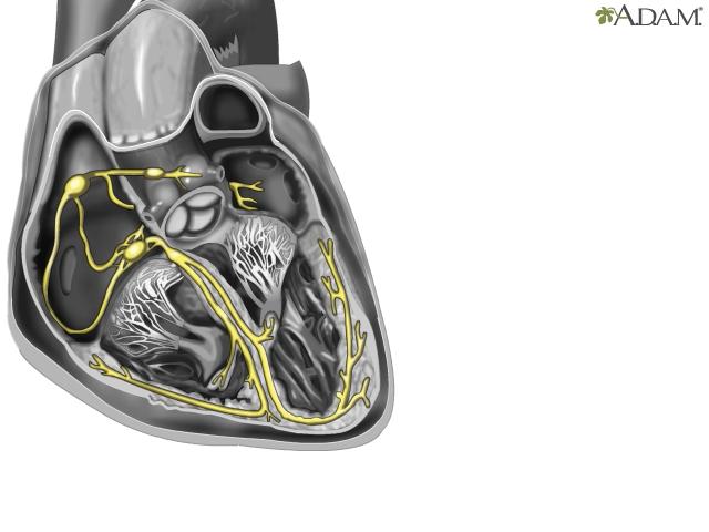 Cardiac Conduction System Anatomy Video Medlineplus Nih