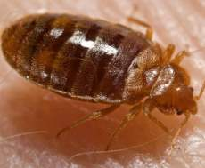 A photograph of a bed bug