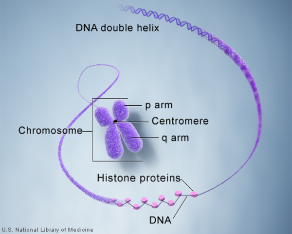 Chromosomes have a p arm, a q arm, and a centromere. They are made up of DNA wrapped around histone proteins.