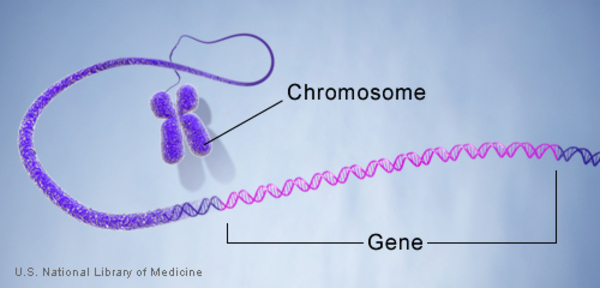 A gene is labeled along the length of a chromosome.