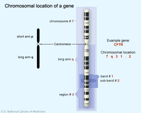The CFTR gene is located on the long (q) arm of chromosome 7 at position 31.2.