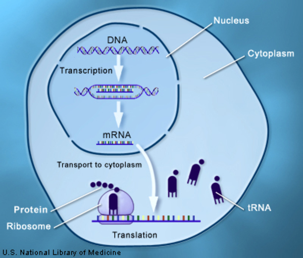 DNA is transcribed into mRNA, which is transported into the cell cytoplasm and translated into a protein.